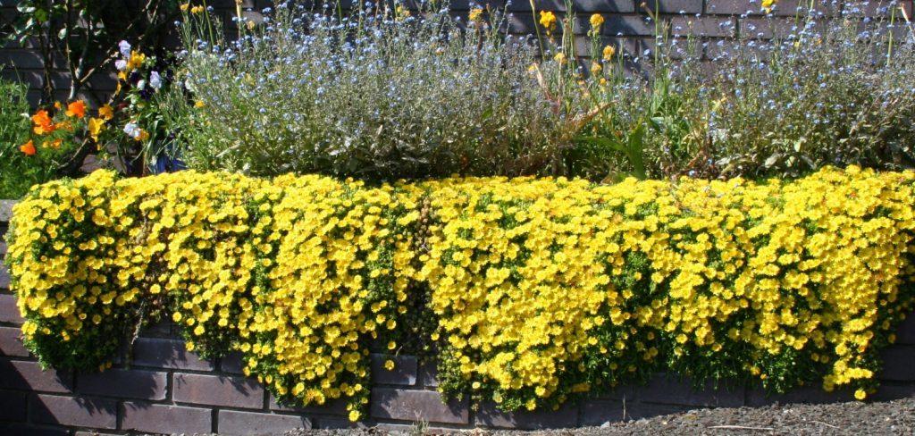 Delosperma nubigenum ground cover
