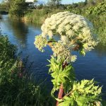 Giant hogweed warning as toxic weed crops up around Fife
