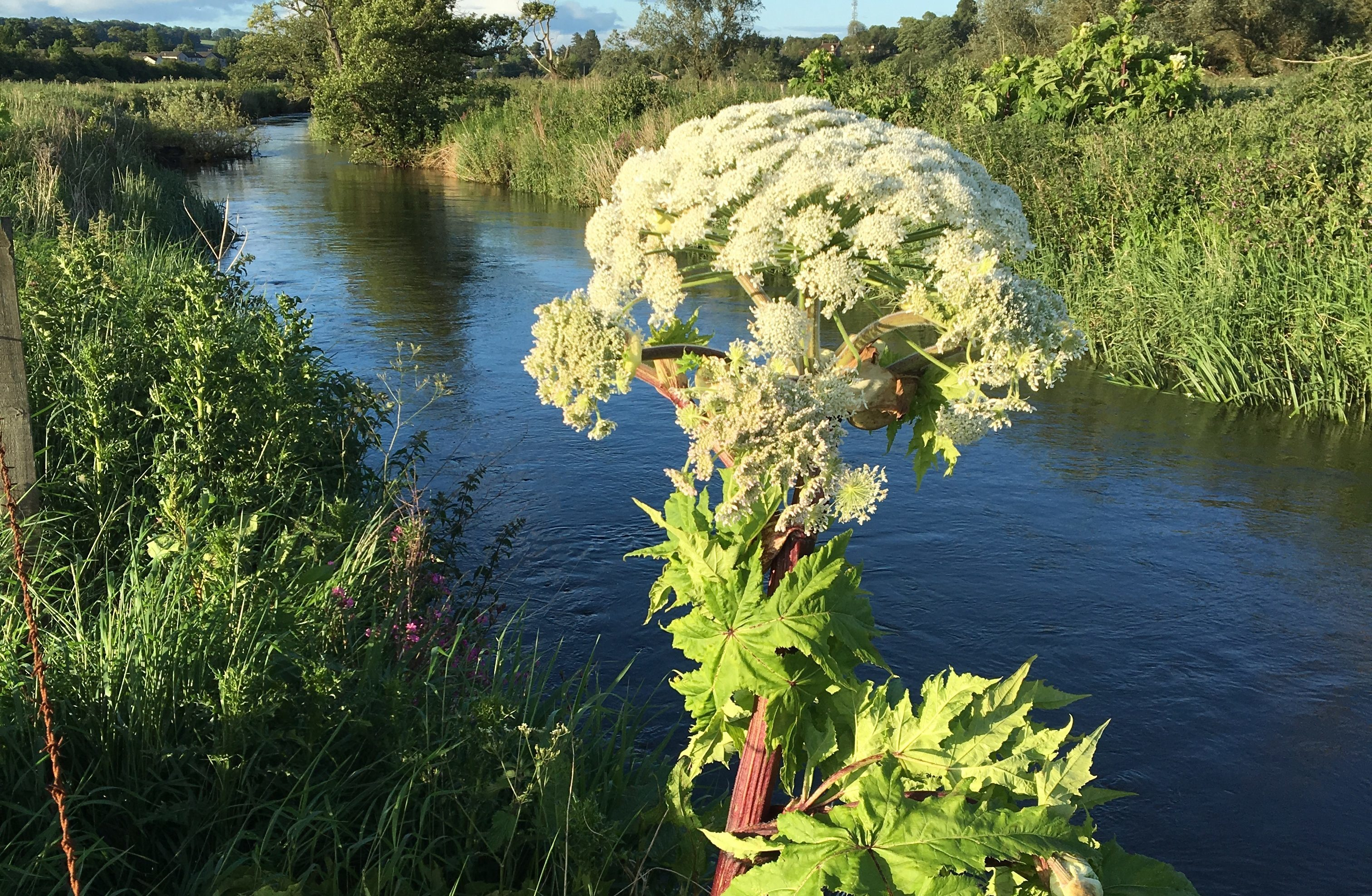 Giant hogweed on the banks of the River Eden in Cupar