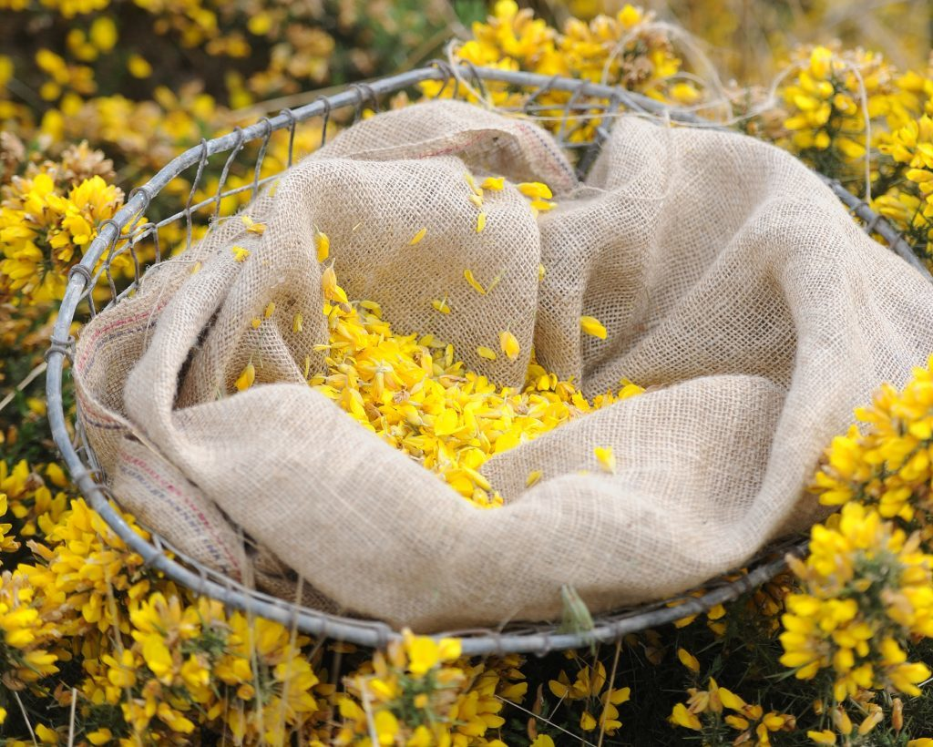 Filling the basket with gorse flowers.