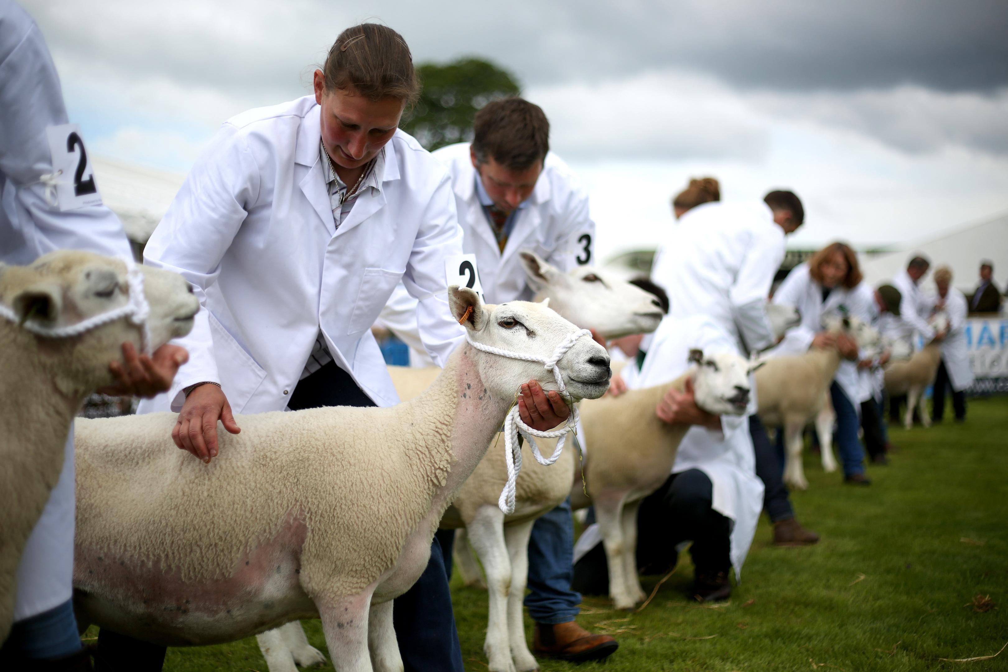 Sheep being shown at Royal Highland Show.