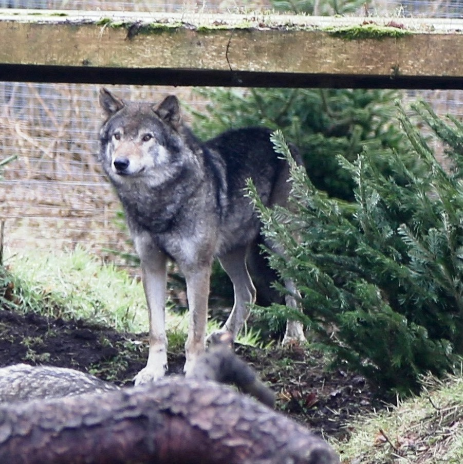 meet the wolves uk