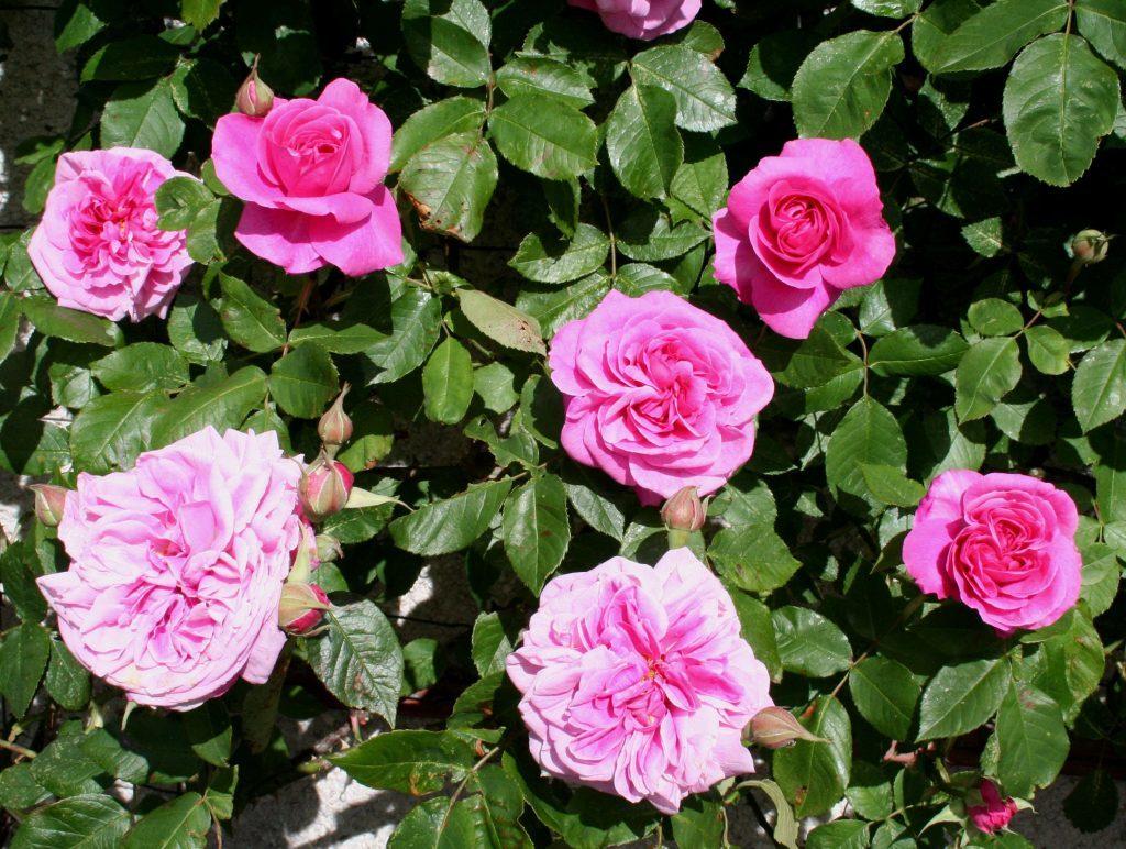 Shrub rose Gertrude Jekyll