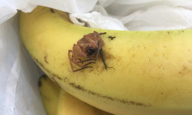 The spider found in the Aldi bananas.