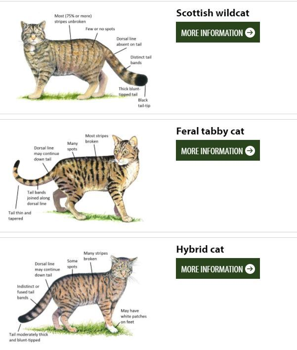 How to identify a Scottish Wildcat. Diagram courtesy of Scottish Wildcat Haven.