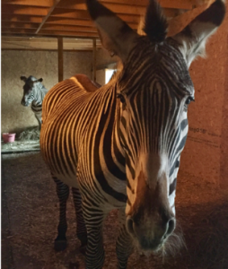 Marty and Jez, members of the endangered Grevy's zebra species, moved into Fife Zoo in March
