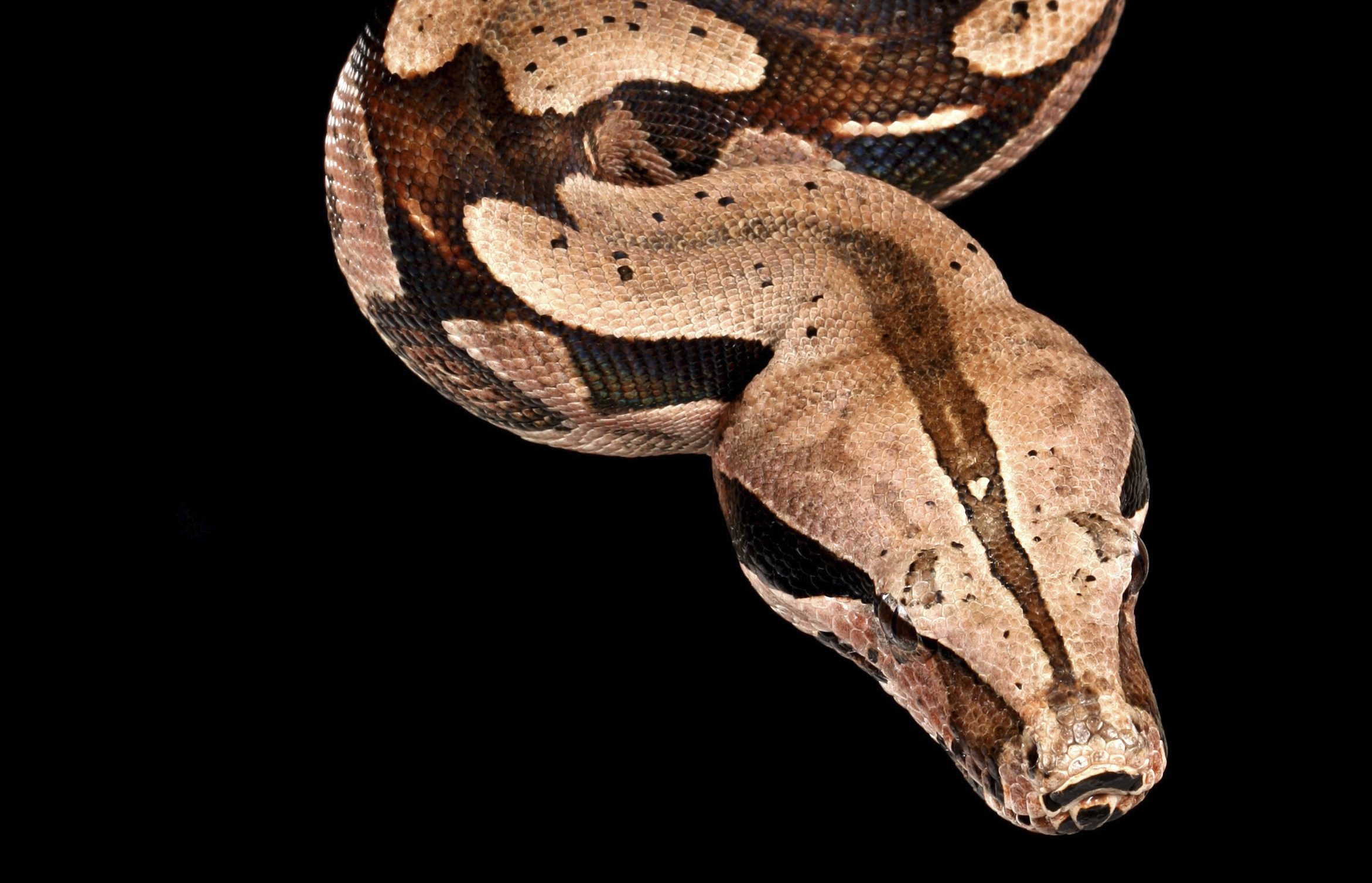 A Red Tail Boa hanging from a tree branch.