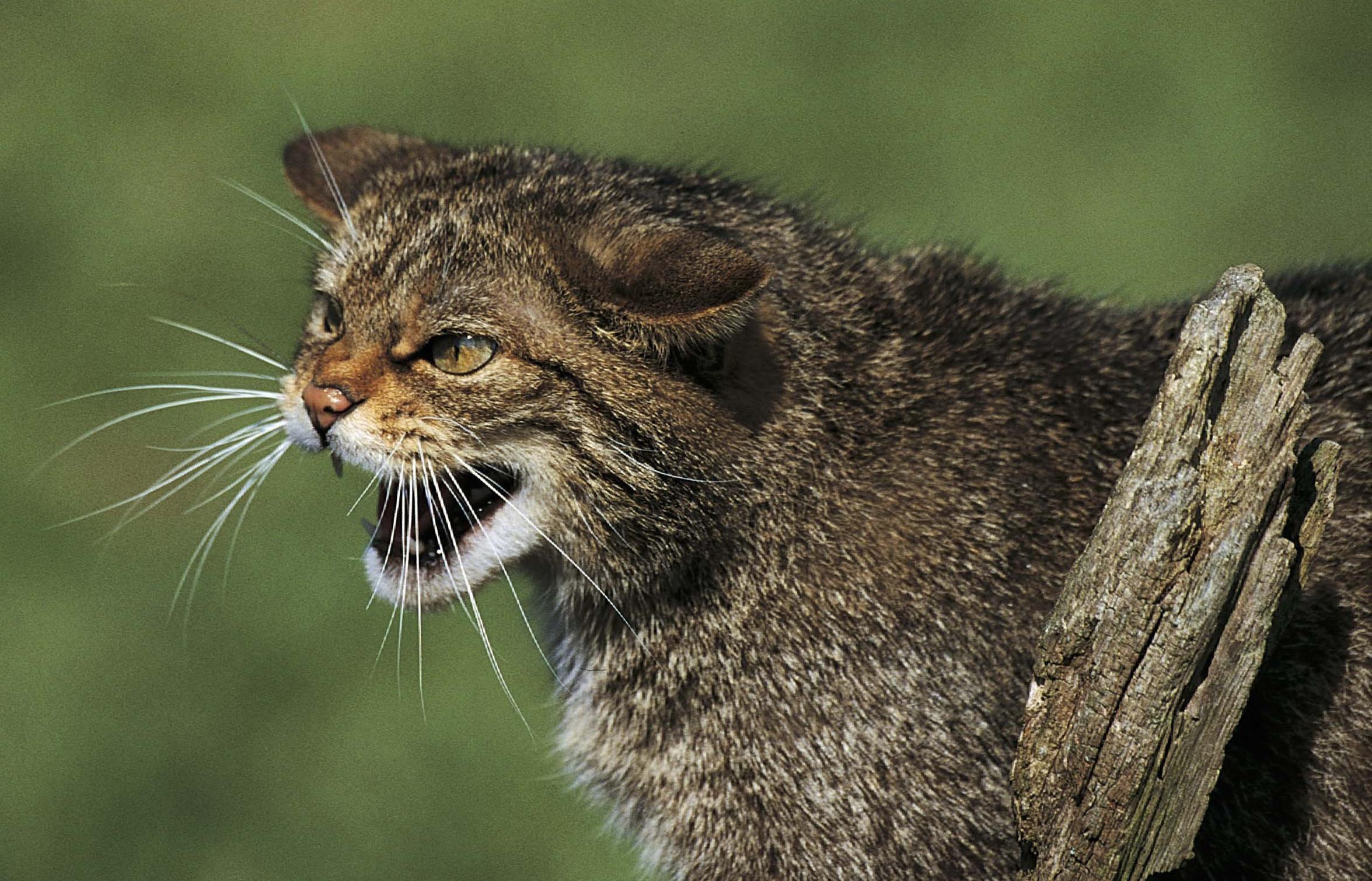 Scottish wildcat.