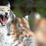 Lynx and beavers are threat to countryside