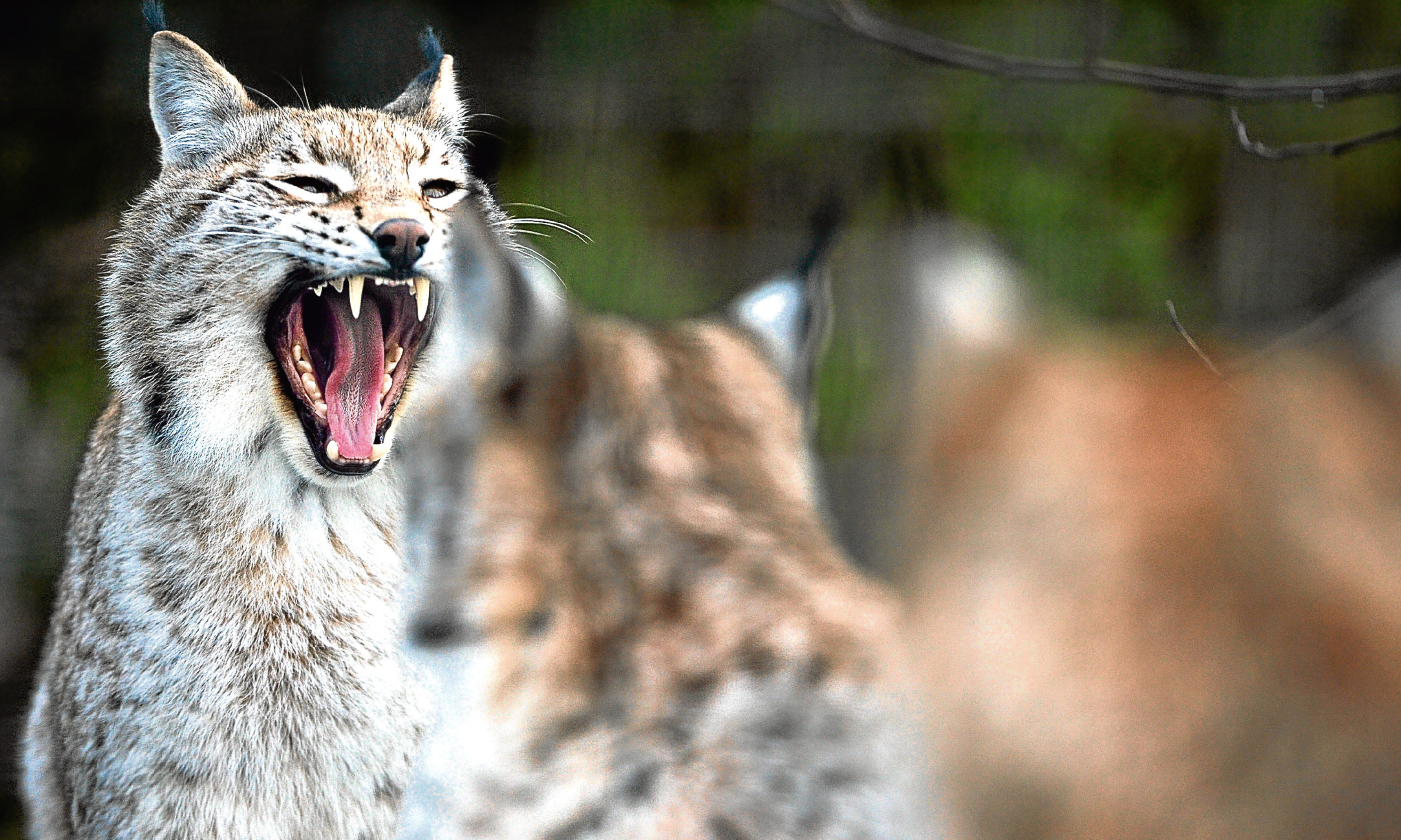 Young lynx wait to be fed at Highland Wildlife Park, Kincraig.