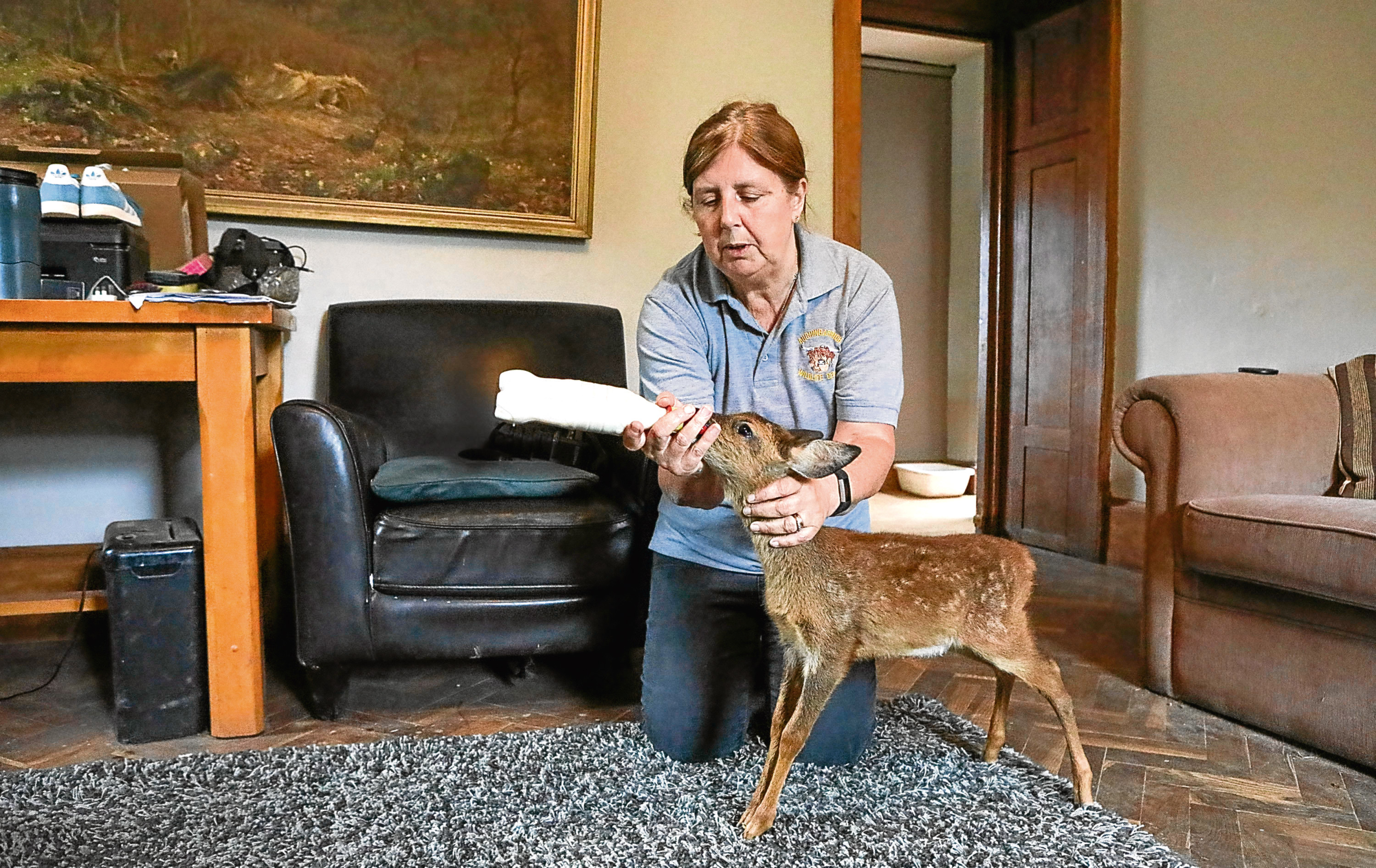 The family are raising the adorable deer fawn in their living room after it was rescued from the roadside.