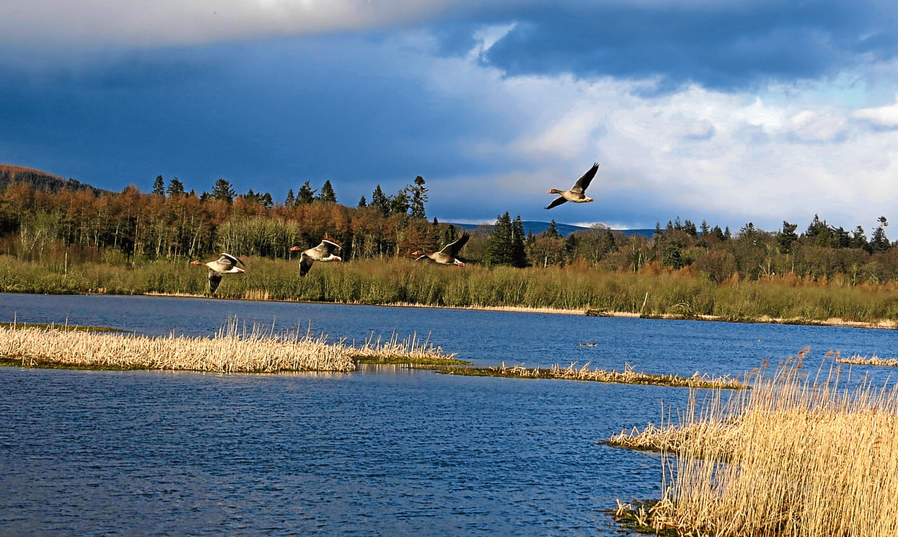 Geese in flight over the nature reserve at Loch of Kinnordy near Kirriemuir.