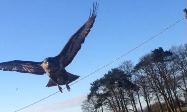 The buzzard has been attacking runners in Carnoustie