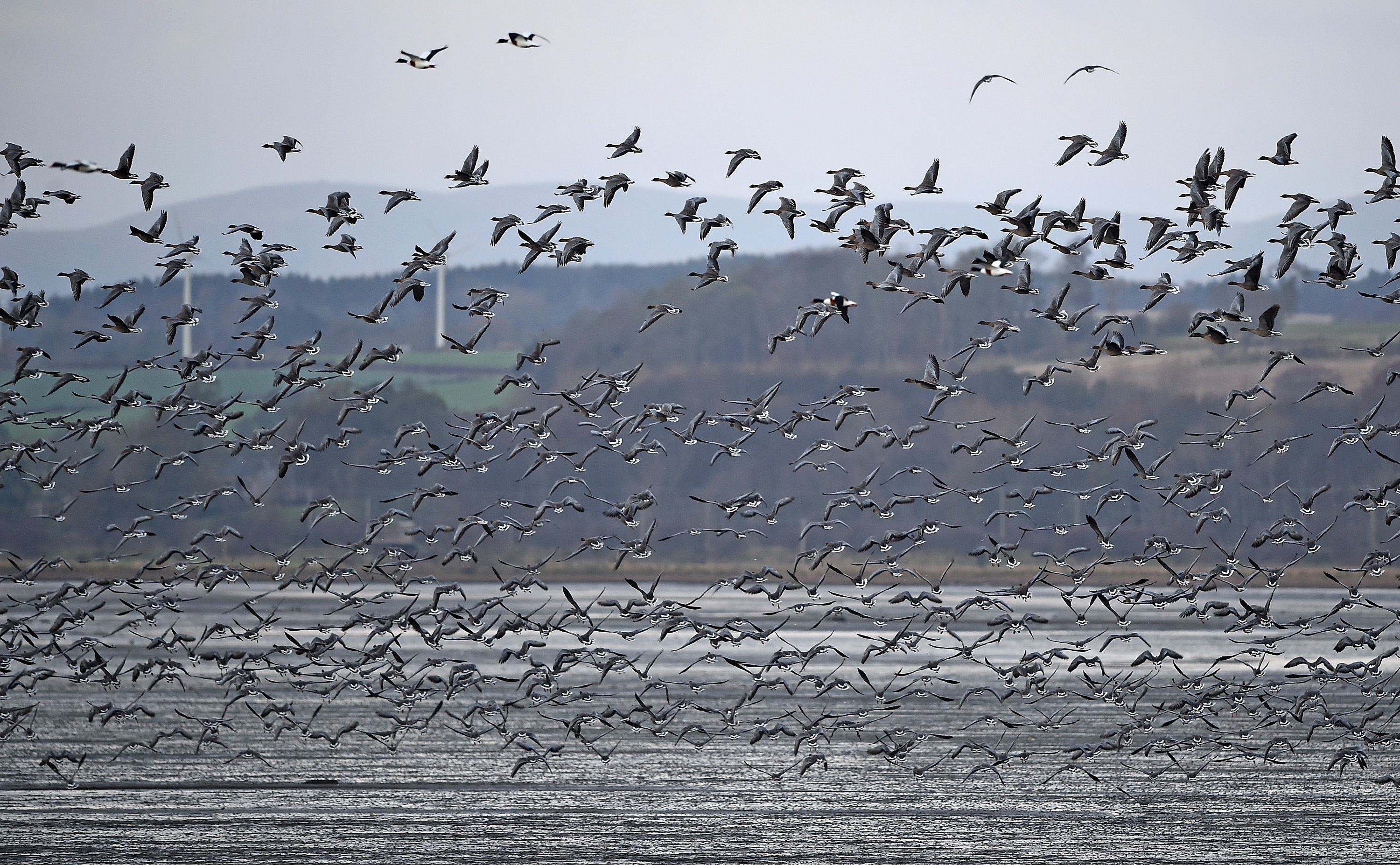Pink-footed geese at Montrose Basin.