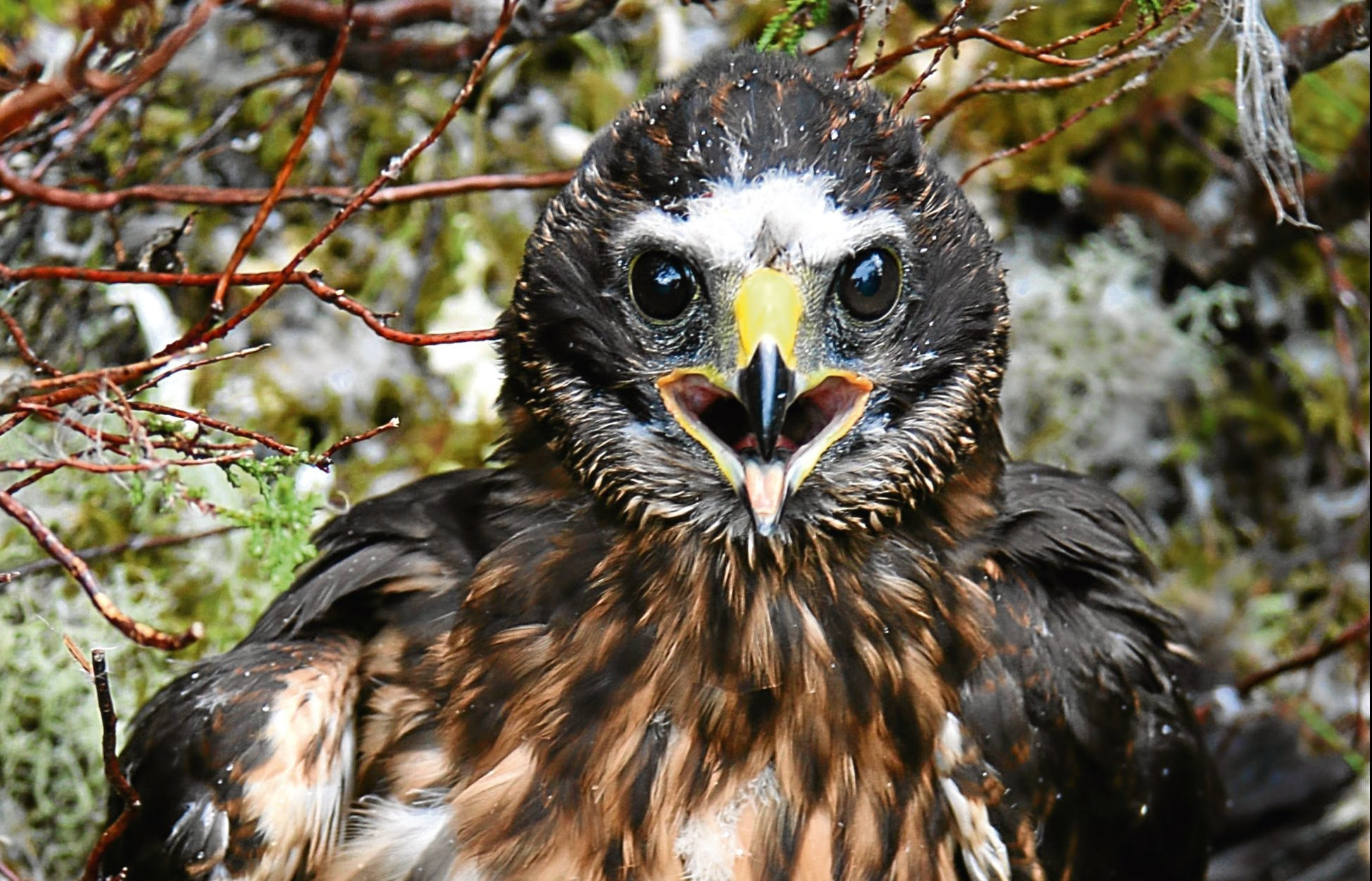 Calluna, the satellite-tagged hen harrier which was reported missing.