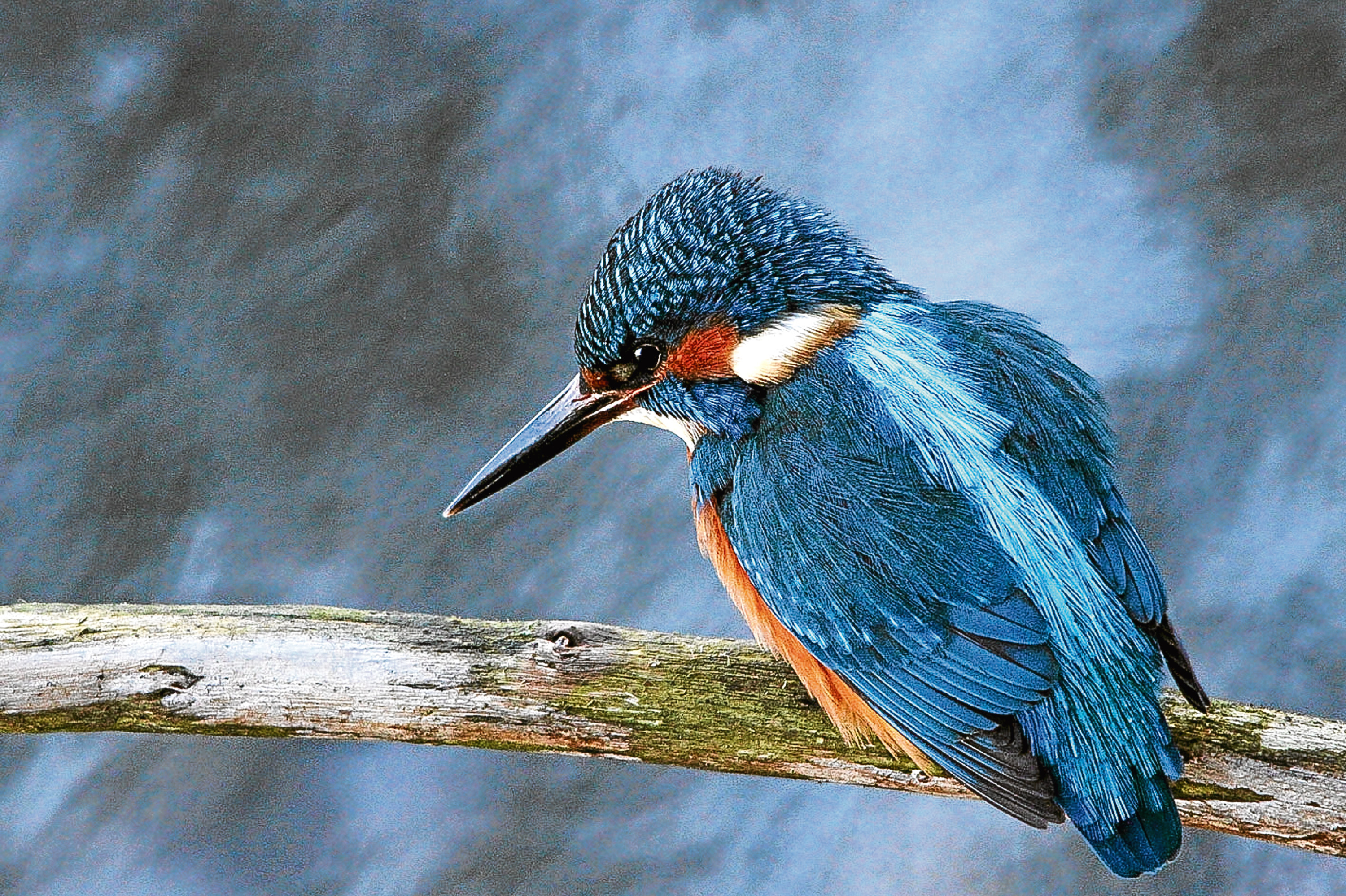 Jim has been captivated by the kingfisher's remarkable colours.