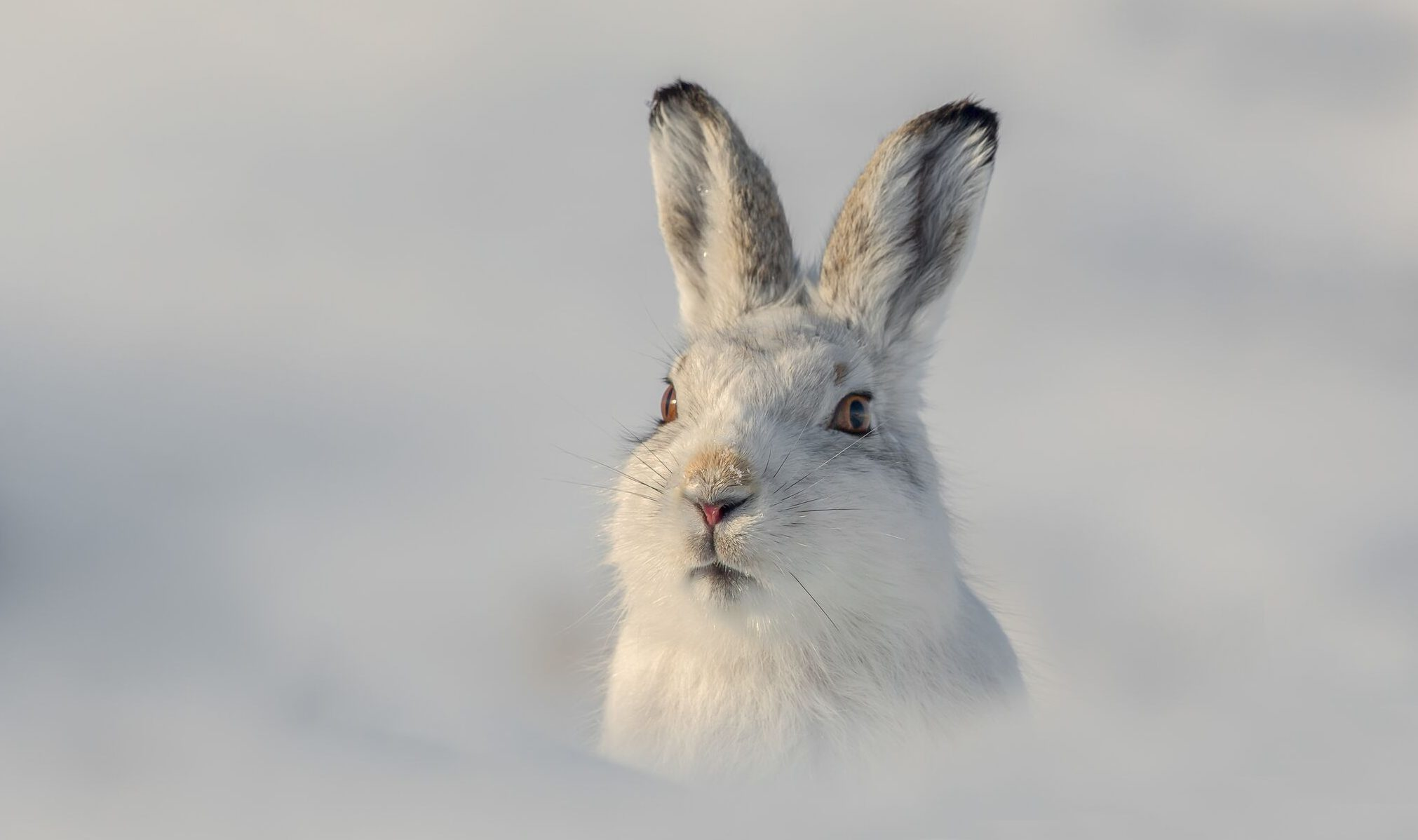 Mountain hare by Raymond Leinster