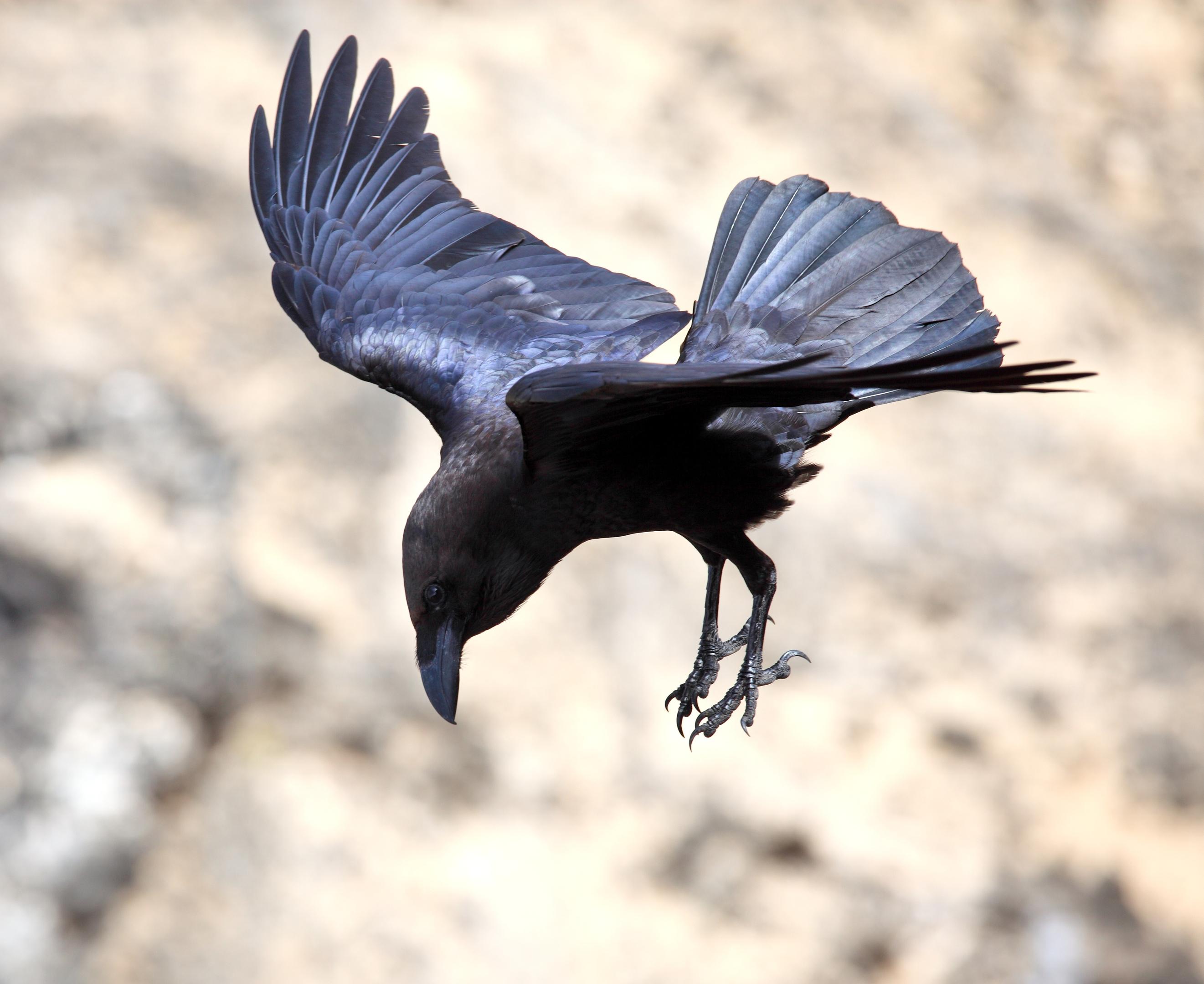Brown-necked raven, Corvus ruficollis, in flight