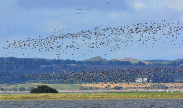 Pink footed geese at RSPB Loch Leven.