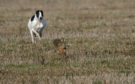Incidents of hare coursing have taken place in the Tayside and Fife area