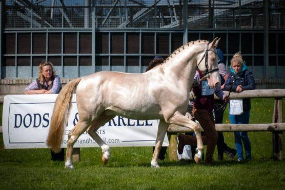 Kambarbay is a rare Akhal-Teke horse.