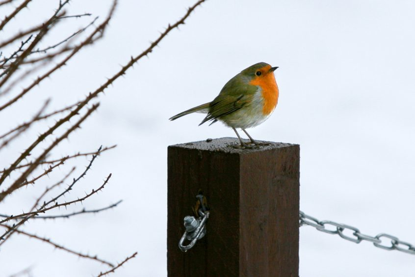 A robin in the snow during the 2010-11 white-out.