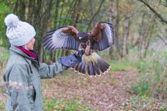 Artemis, a female Harris hawk flies to Gayle Ritchie.