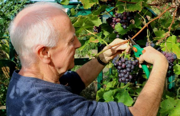Cutting a bunch of black grapes