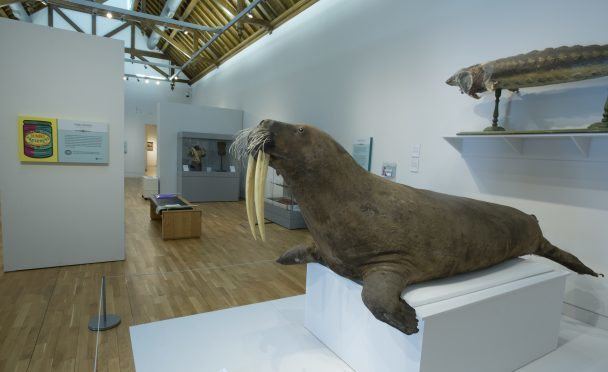 The giant walrus was caught in the late 19th century in northern Canada