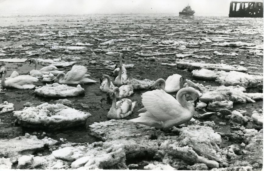 Swans at Broughty Ferry surrounded by ice.  19/2/1979.