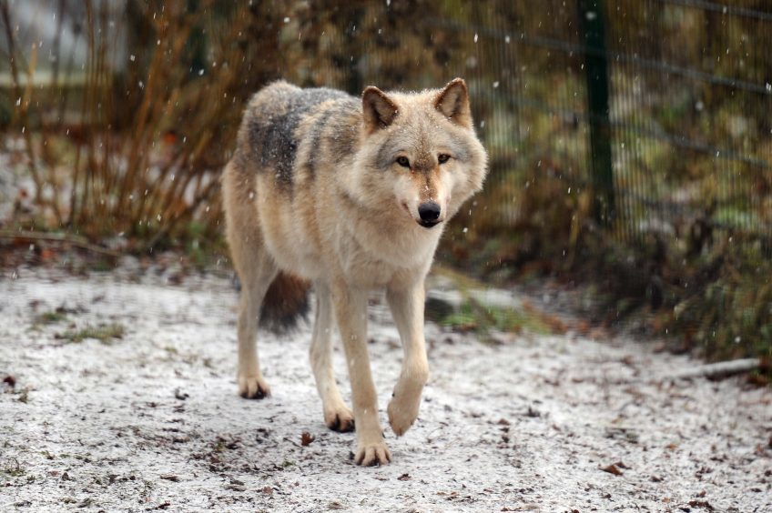 One of the wolves at the Scottish Deer Centre.