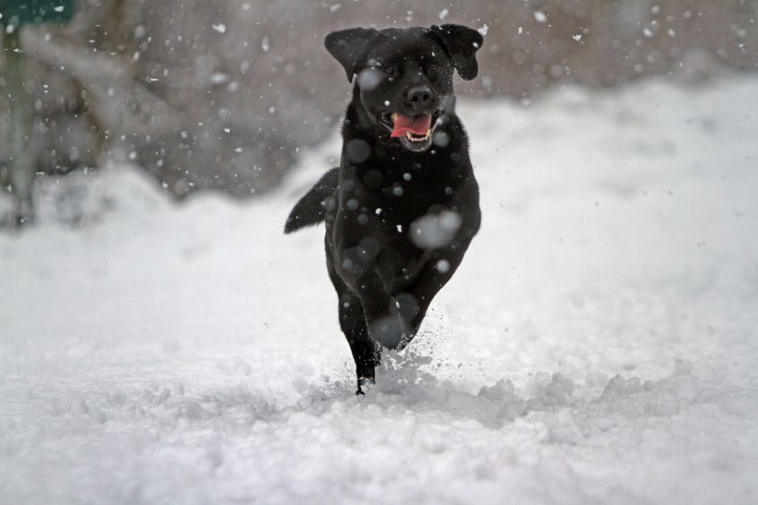 Andrew McLauchlan's dog, Holmes, in the heavy snow.