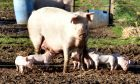 African swine fever outbreaks in Europe have been caused by wild boar or domestic pigs consuming contaminated pork