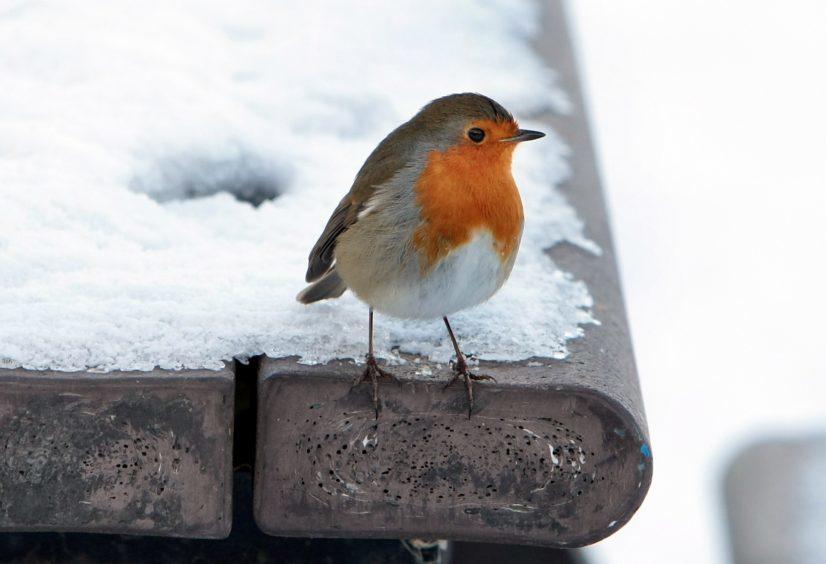 A robin in Perth, December 2009.