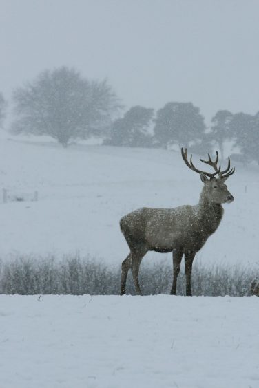A stag in the snow in December 2009.