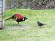 The cock pheasant that visits the Whitsons' garden is joined by a jackdaw.