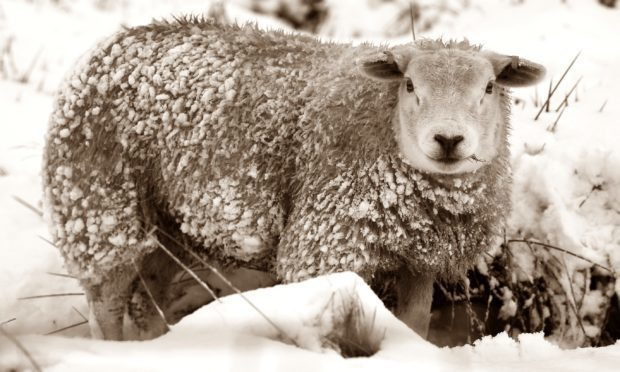 Sanguine sheep became blood-thirsty brutes during the Thirteen Drifty Days.