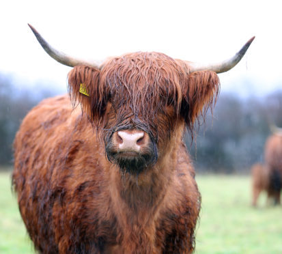 A lot of people think of Highlanders as hobby cattle which don't make money.