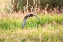 A kestrel on the wing.
