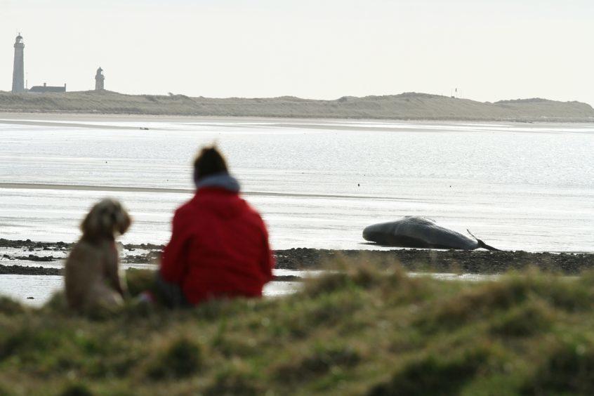 The whale on Monifieth Beach, near Buddon Ness today.