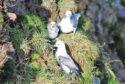 Fulmars nesting.