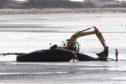 The dead whale at Barry Buddon beach.