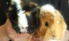 Guinea pigs Robyn and Susan were dumped in their cage in a Glenrothes garage