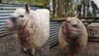 Police issued an obscured photo of the injured sheep as their wounds were so graphic.
