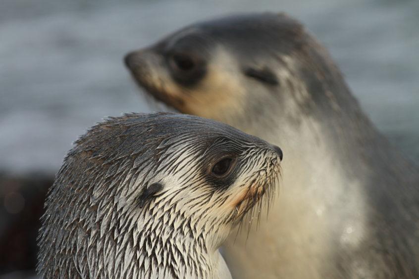 A fur seal.