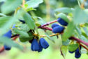 It is hoped production of the honeyberry can be a commercial success.