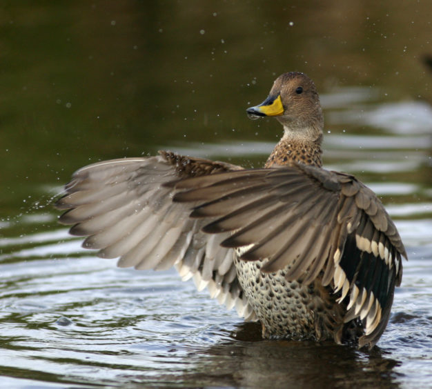 A pintail duck.