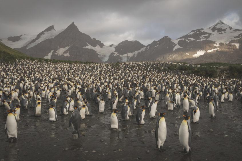 King penguins.