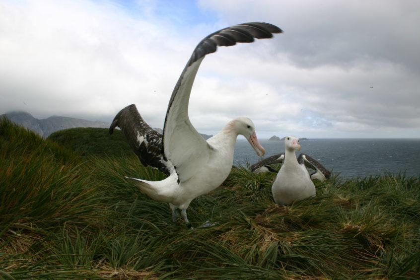 A wandering albatross.