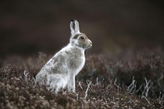 A mountain hare.